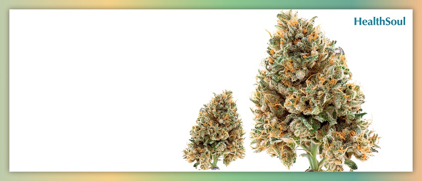 Best Weed Strains for Epilepsy | HealthSoul