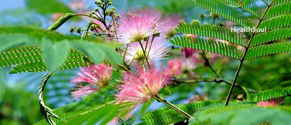 Mimosa Pudica benefits | HealthSoul