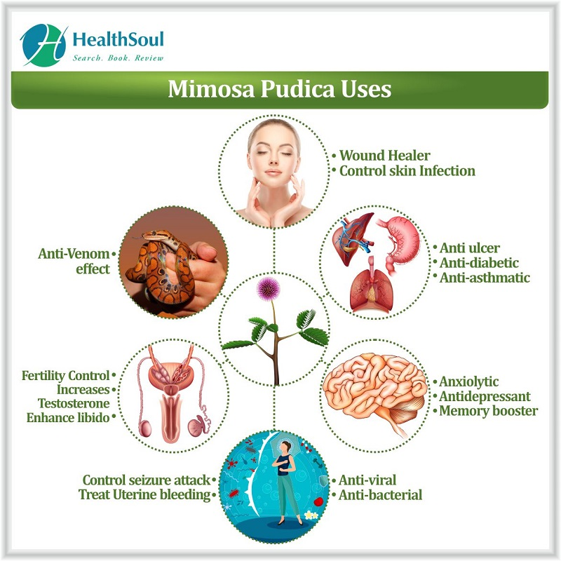 Mimosa pudica uses