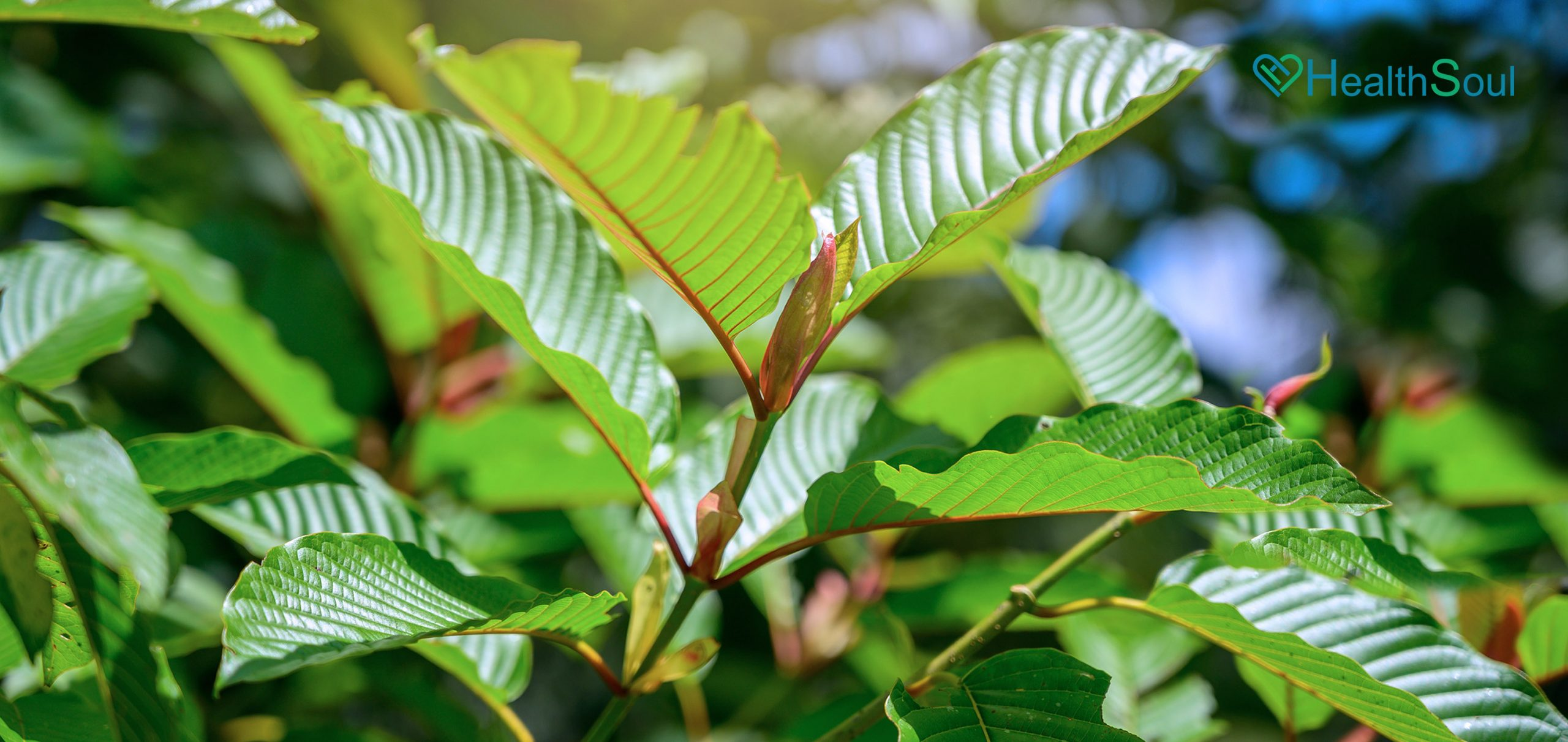 How To Maintain A Healthy Body With Premium Red Bali Kratom | HealthSoul
